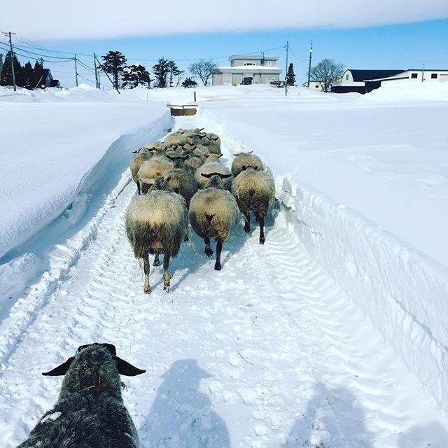 ただ今、マイナス13℃。妊婦な羊たちと散歩に行ってきます。