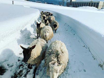 天気が良いので羊たちと散歩へ。餌で釣って放牧地へ連れ出したものの、途中から暴走気味に…。