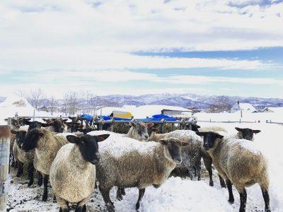 あけましておめでとうございます。今年もよろしくお願いします。連日の大雪で羊たちのスペースが埋まりつつあるので、近日中に柵の中も除雪しなくては。#アスパラひつじ
